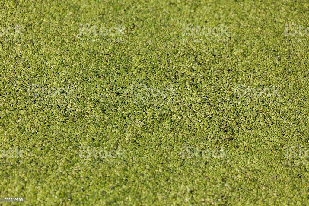 common duckweed stock photo