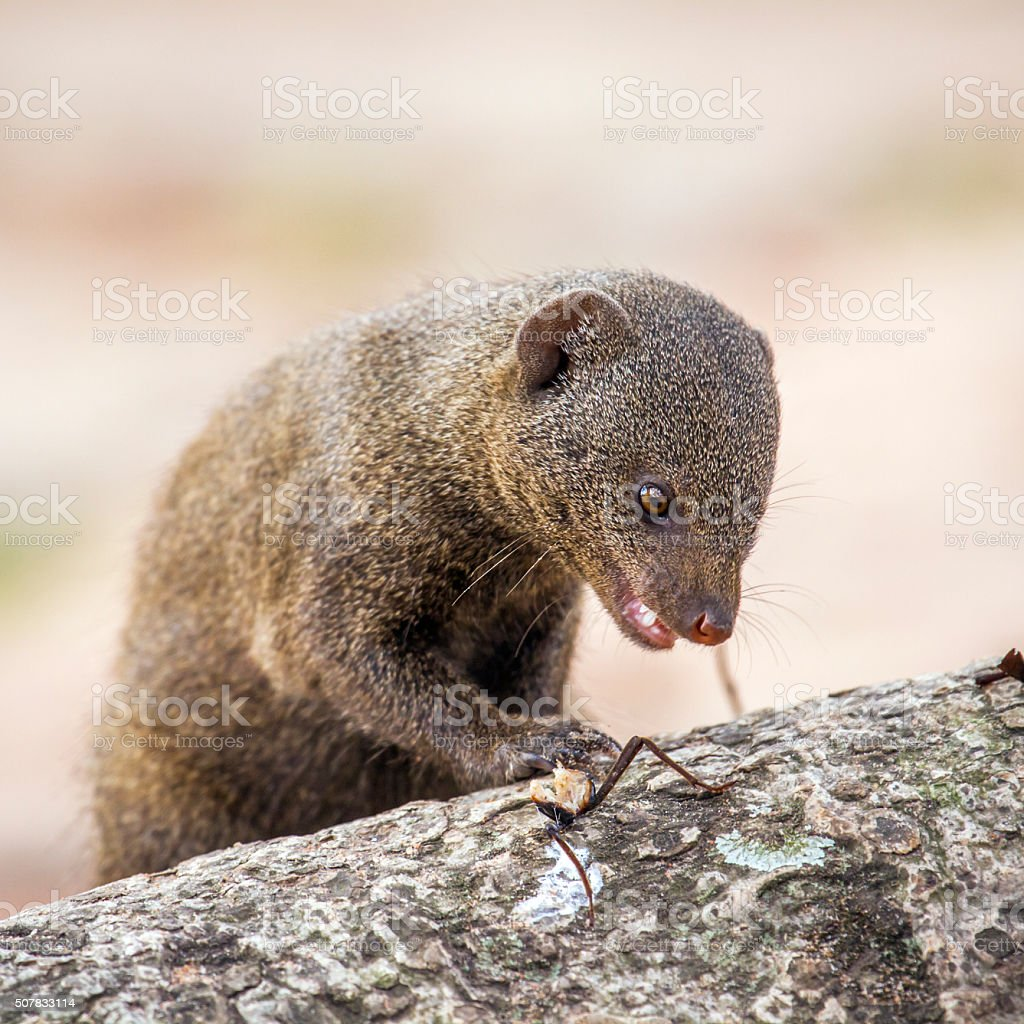 common dwarf mongoose in Kruger National park stock photo