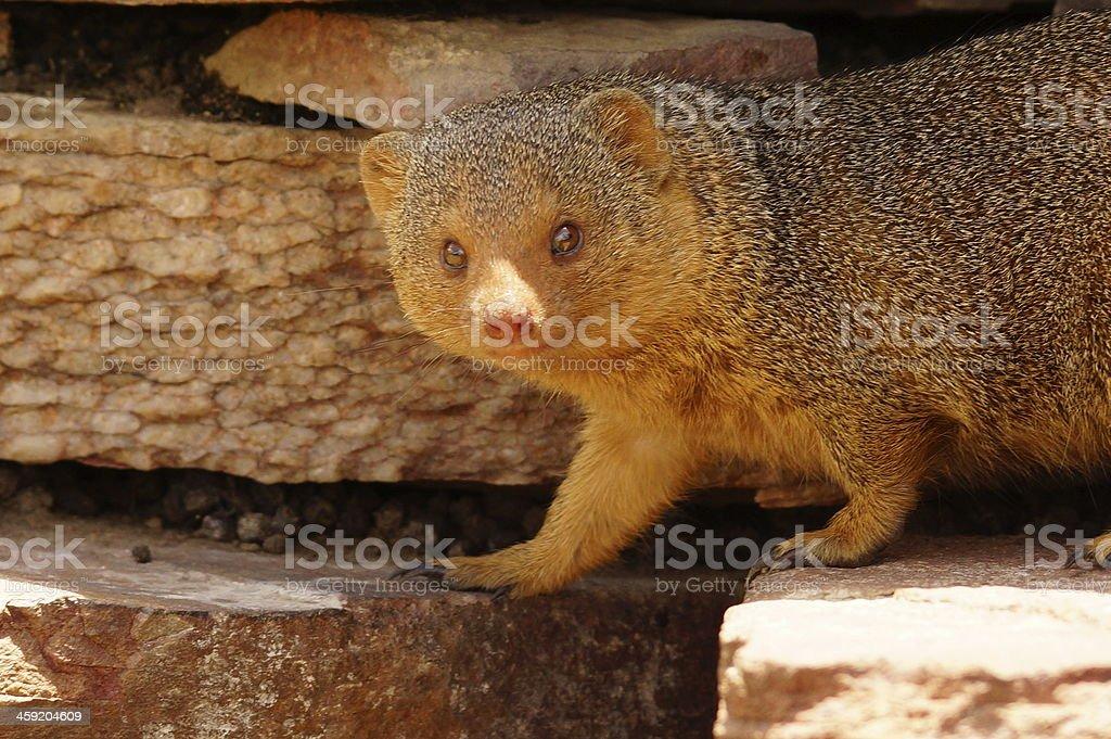 Common dwarf mongoose stock photo
