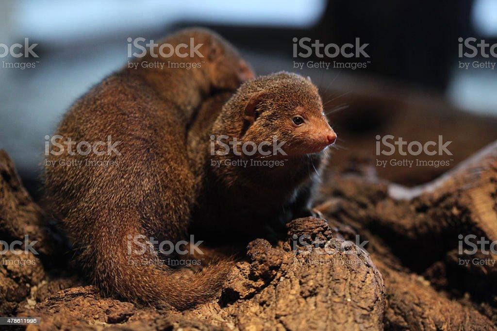 Common dwarf mongoose (Helogale parvula) stock photo
