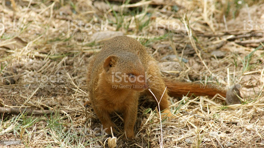 Common dwarf mongoose stock photo