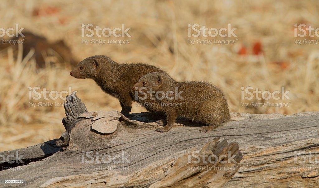 Common Dwarf Mongoose (Helogale parvula) sitting on a log stock photo