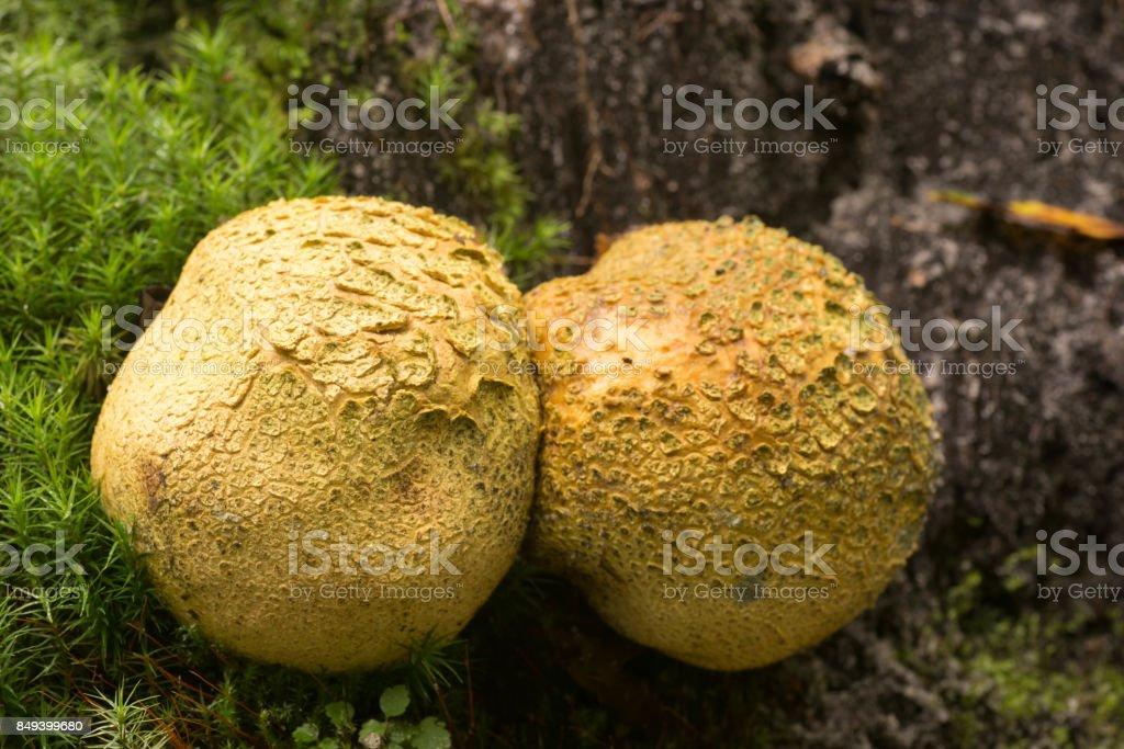 common eartball mushroom closeup stock photo