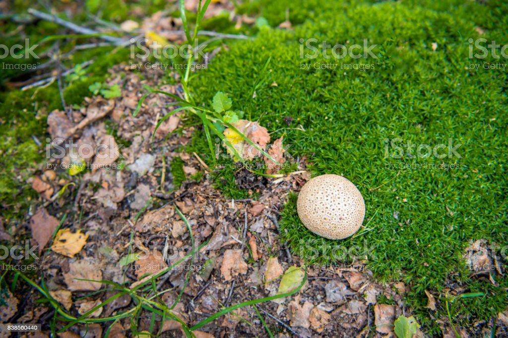 Common earthball between moss stock photo