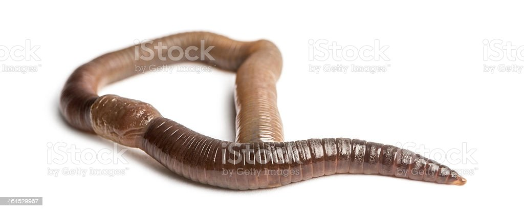 Common earthworm viewed from up high, Lumbricus terrestris stock photo