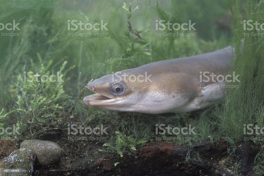 A common eel swimming deep in the water stock photo
