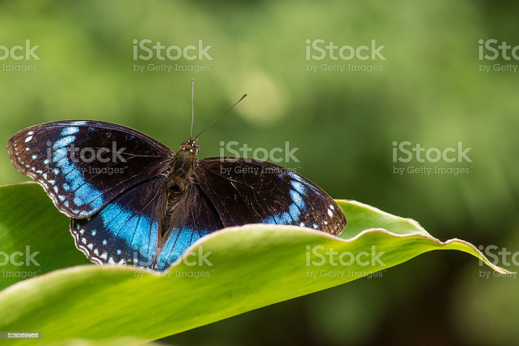 Common Eggfly butterfly stock photo