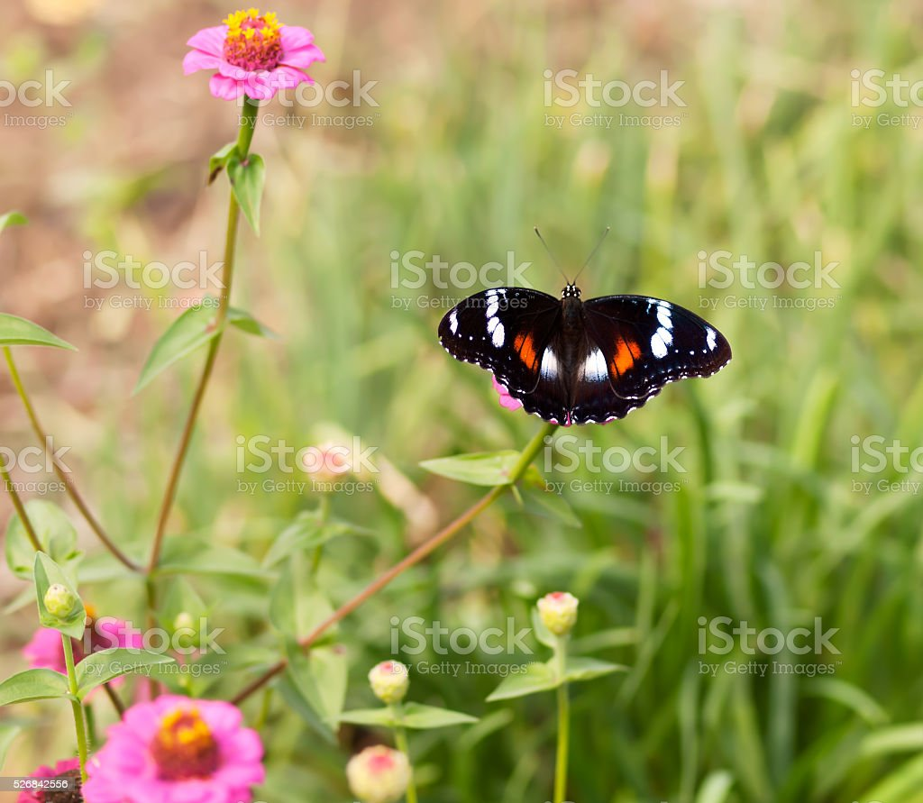 Common eggfly nymph Australian butterfly on pink flowers stock photo