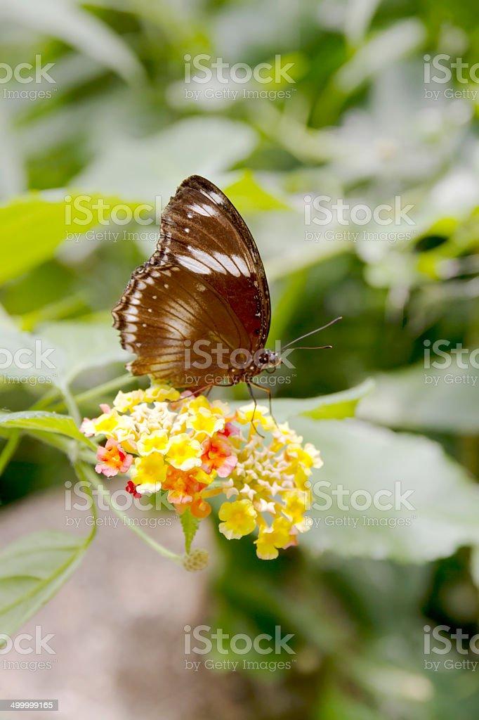 Common Eggfly (Hypolimnas bolina) on Lanana Flowers stock photo