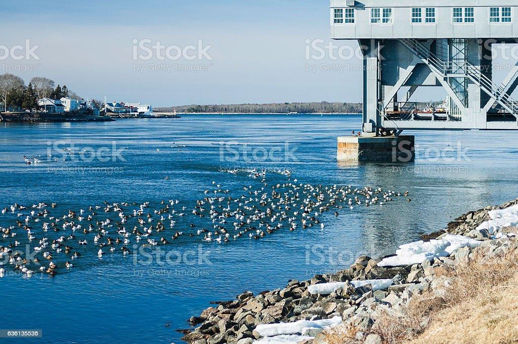 Common Eider Cape Cod Canal stock photo