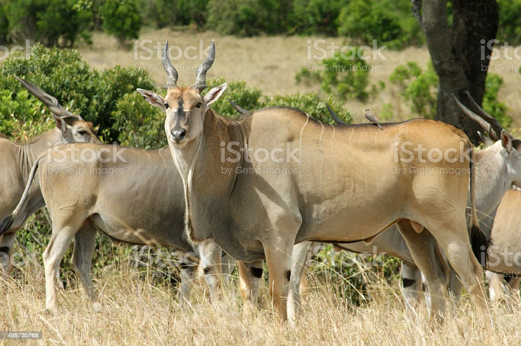 Common Eland stock photo