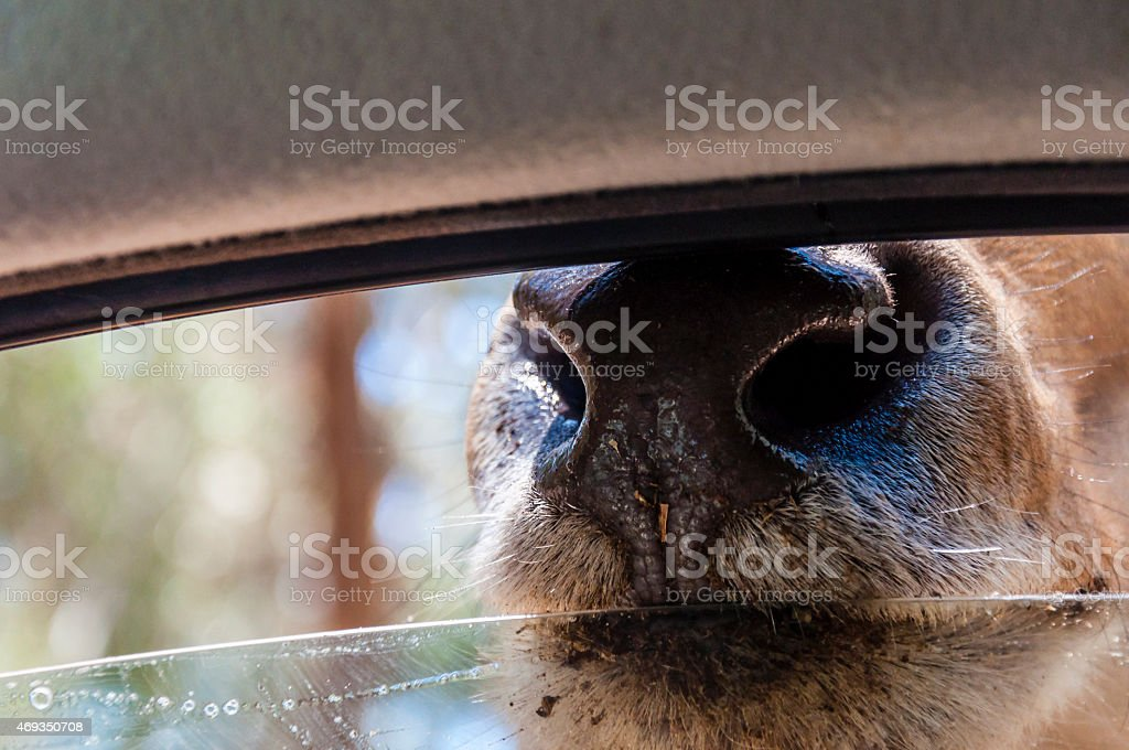 Common eland pokes its snout into the car window stock photo
