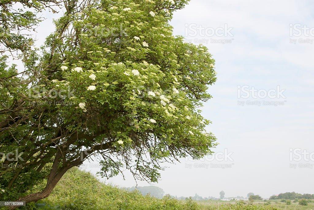 Common Elder (Sambucus nigra) Blossom stock photo