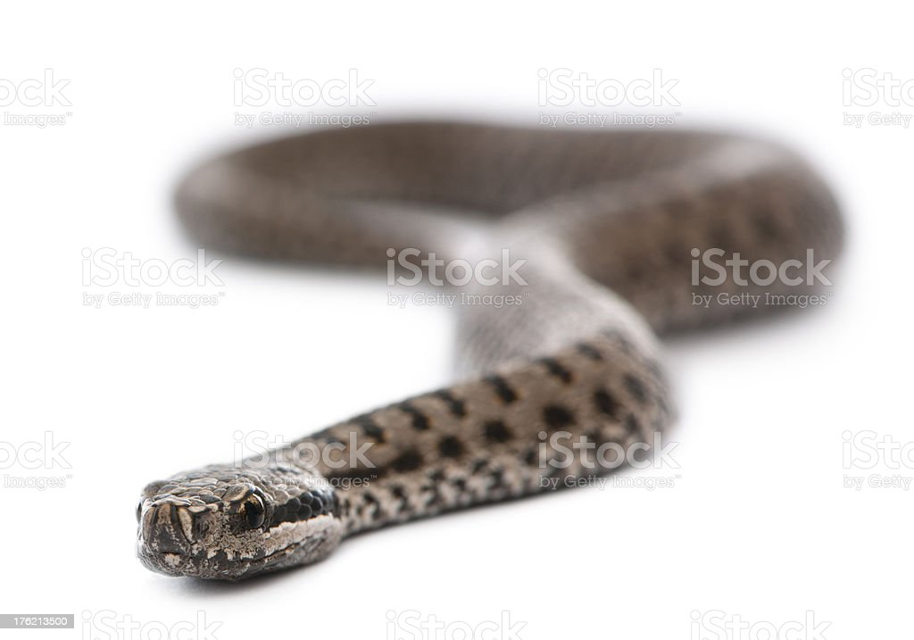 Common European adder stock photo