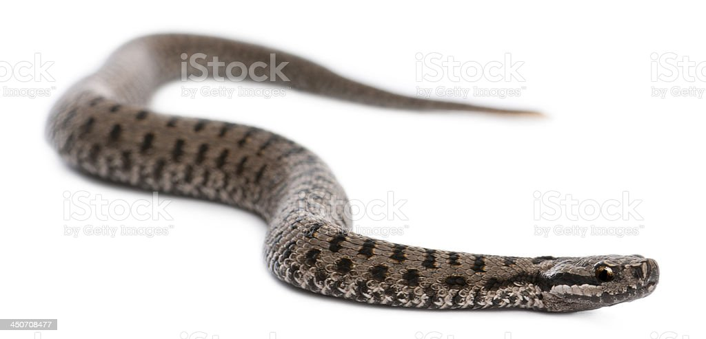 Common European adder, Vipera berus stock photo