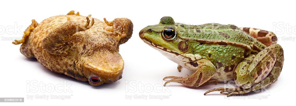 Common European frog or Edible Frog lying on its back stock photo