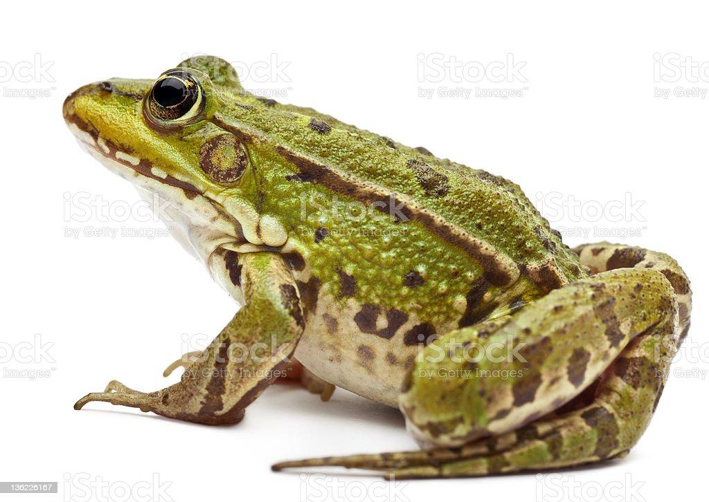 Common European frog, Rana kl. Esculenta stock photo