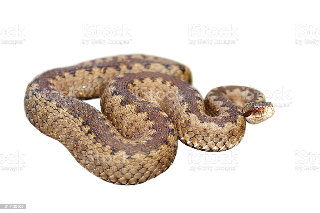 common european viper over white stock photo