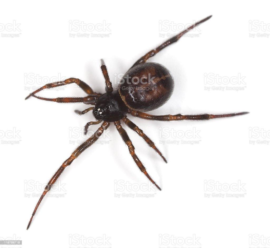 Common false-widow (Steatoda bipunctata) stock photo