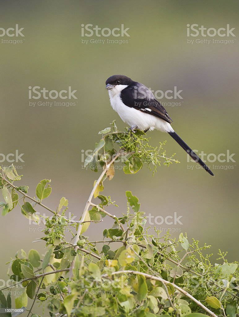 Common Fiscal Shrike perches on branch in Tanzania, Africa stock photo