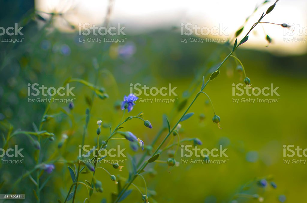 Common Flax Linum usatissimu Flowers - and buds - seeds stock photo