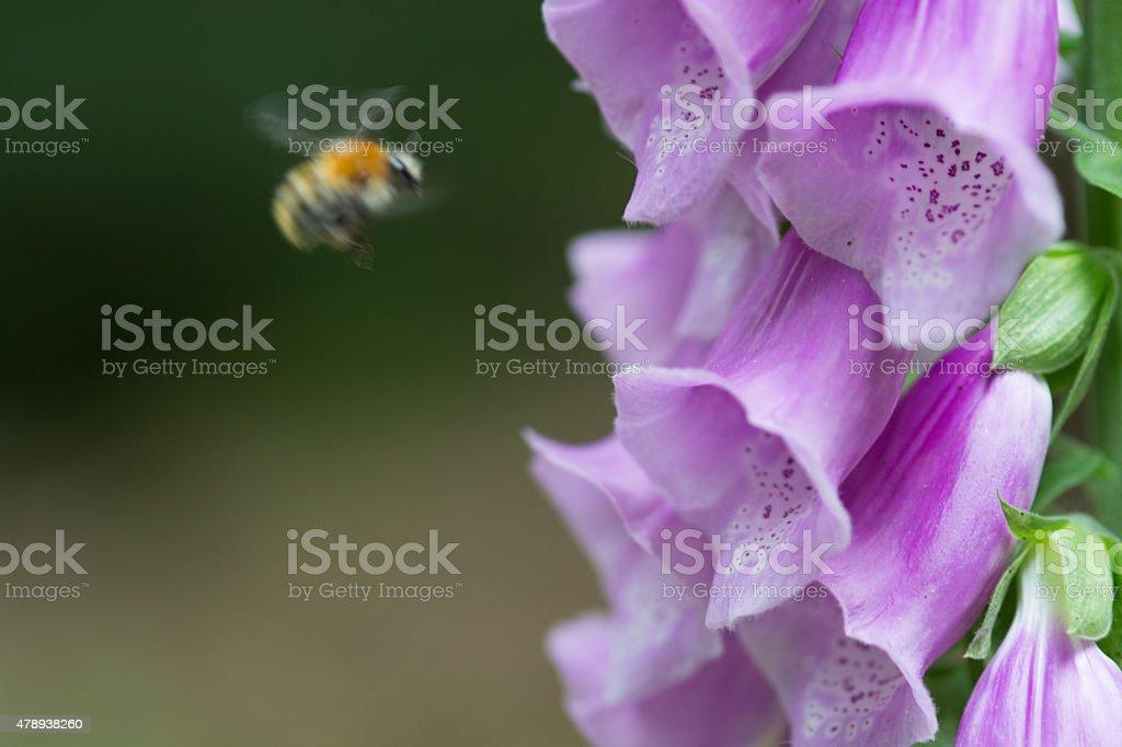 common foxglove, Roter Fingerhut royalty-free stock photo