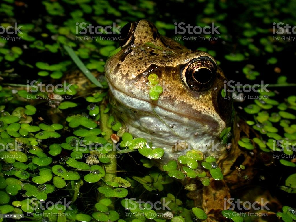 Common Frog 04 royalty-free stock photo