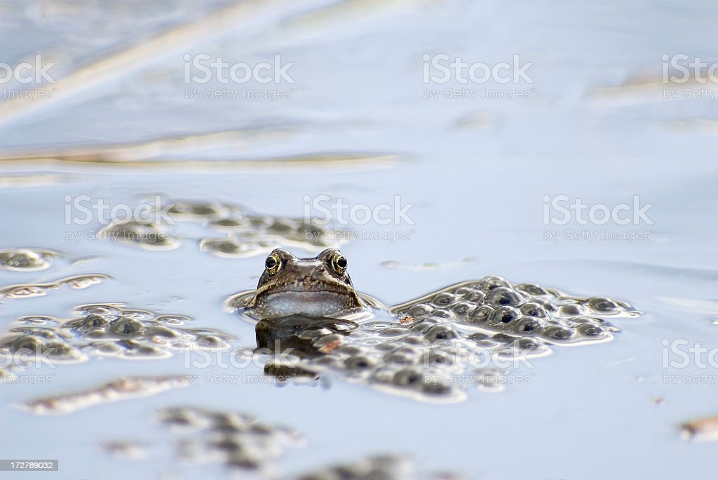 Common Frog (Rana temporaria) between Eggs royalty-free stock photo