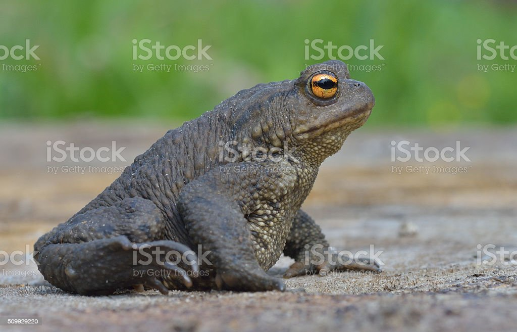 Common frog - Bufo-bufo stock photo