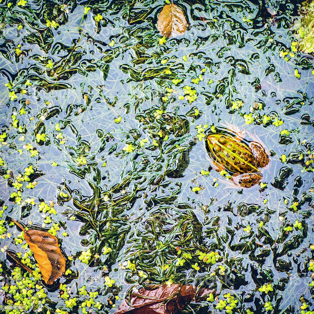 Common frog high angle view in french swamp water surface stock photo