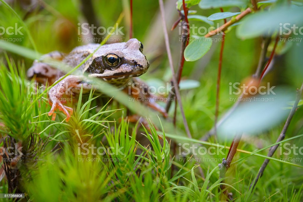 Common frog in the woods stock photo