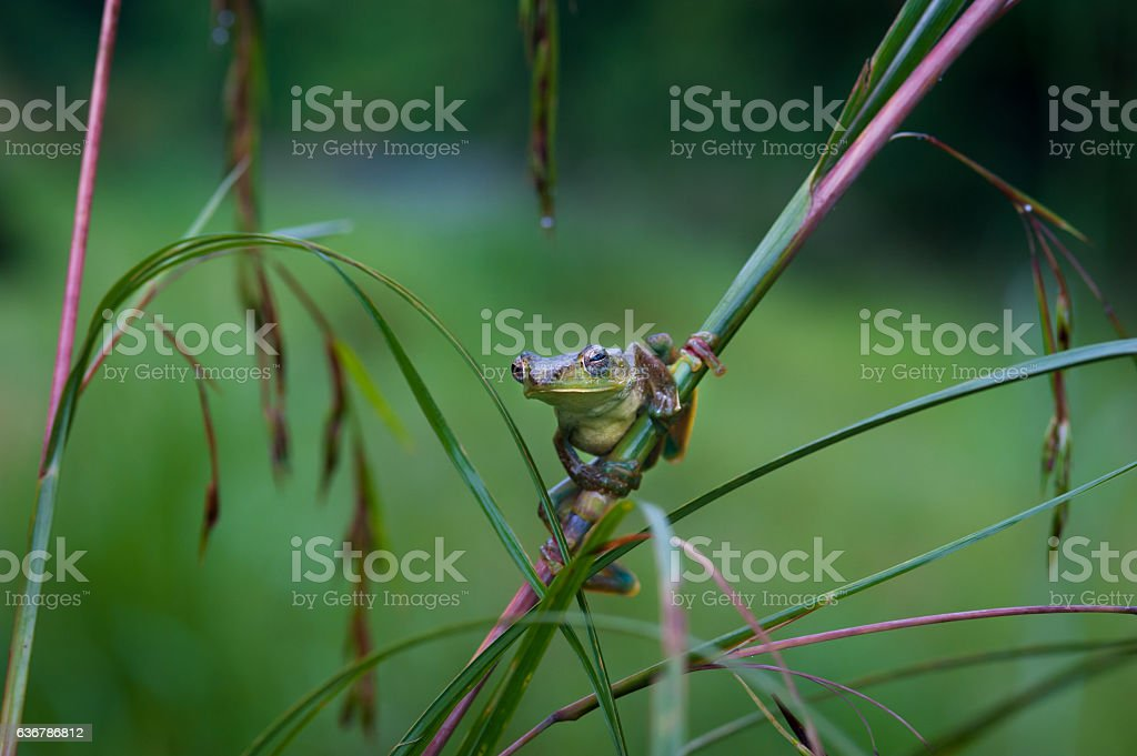 Common frog macro, portrait in its environment. Thailand stock photo