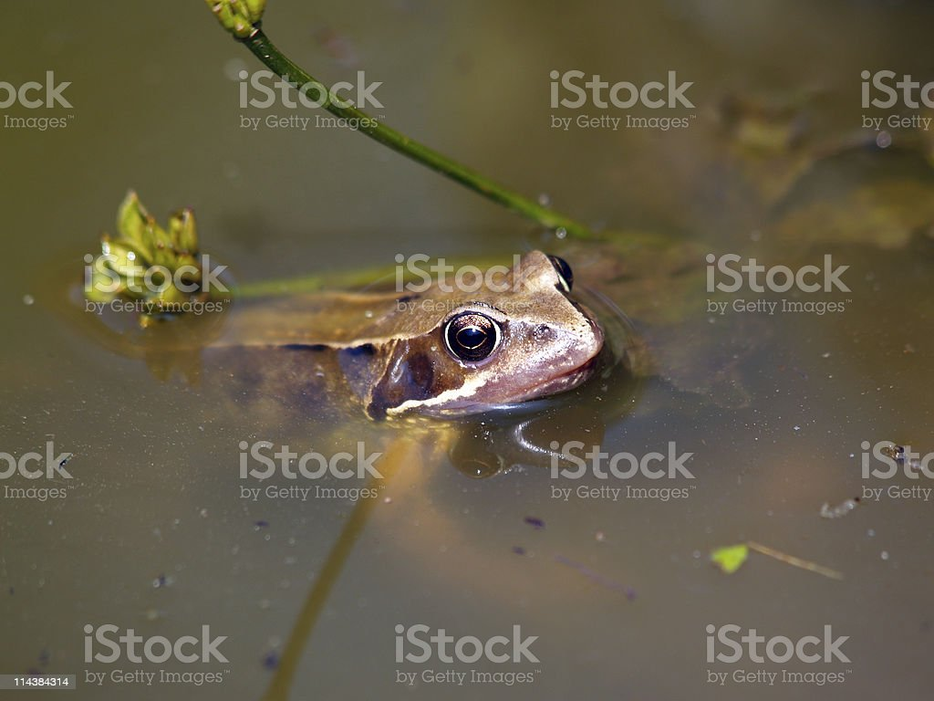 Common Frog (Rana temporaria) royalty-free stock photo