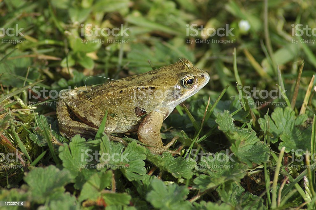 Common Frog royalty-free stock photo