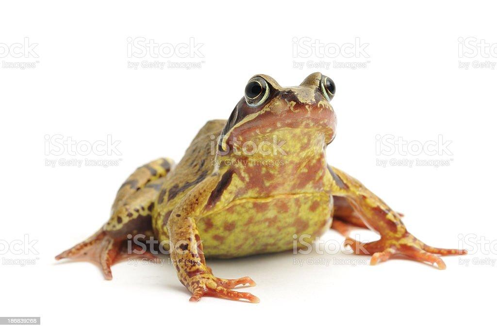 Common Frog(Rana temporaria) stock photo