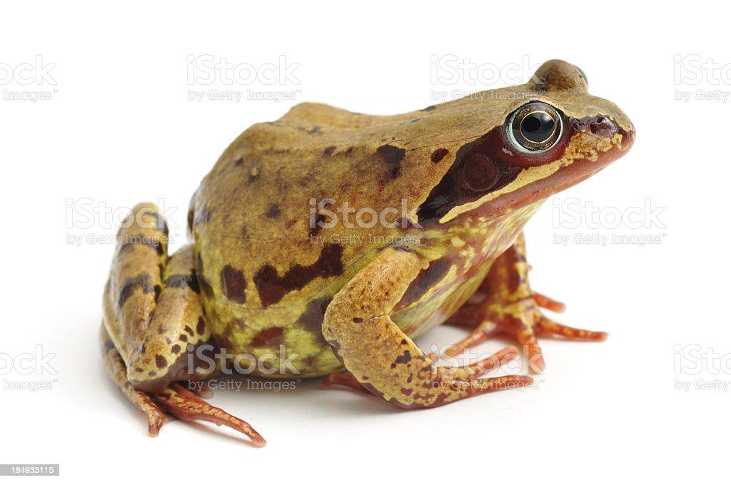 Common Frog(Rana temporaria) profile stock photo