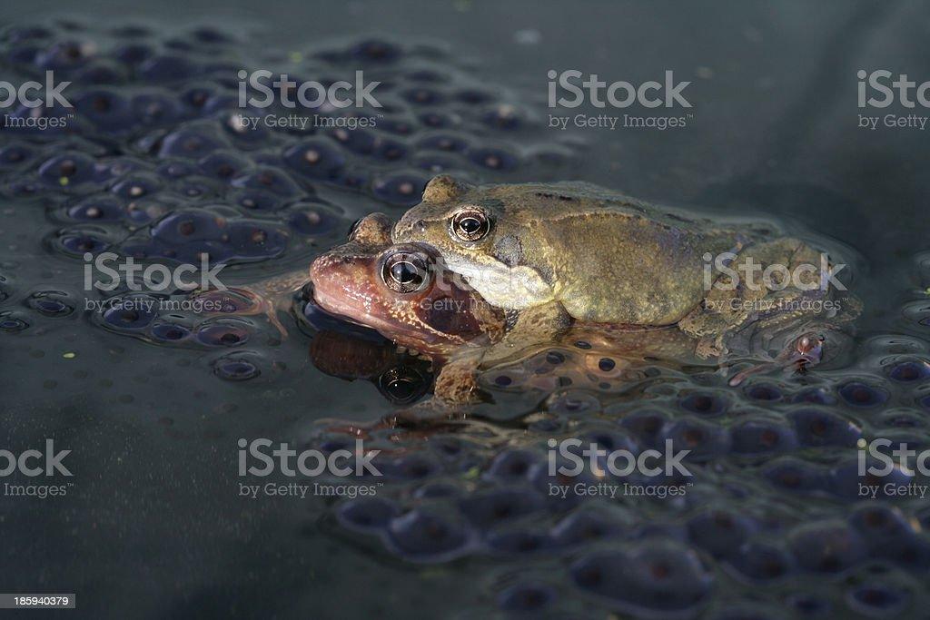 Common frog, Rana temporaria royalty-free stock photo