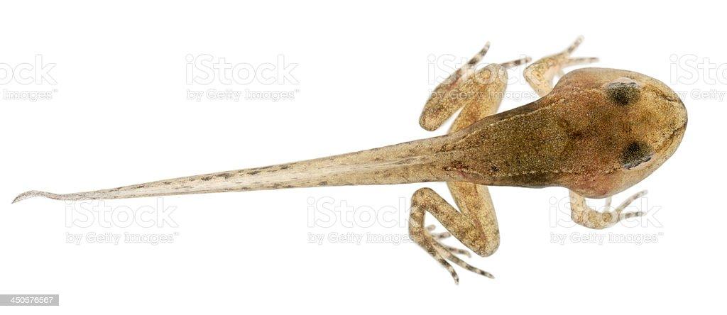Common Frog, Rana temporaria tadpole with all legs stock photo