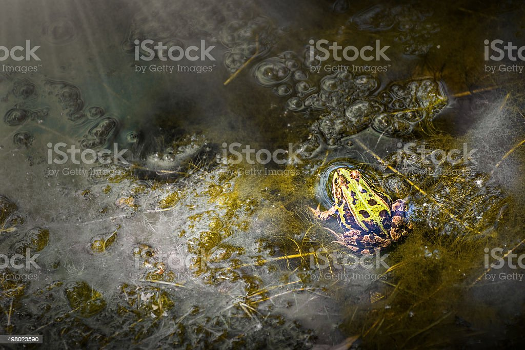Common frog under sunbeam on surface of water in marshes stock photo