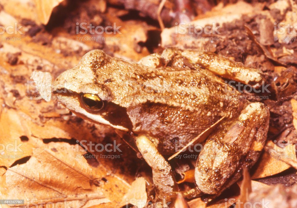 Common Frog (Rana temporaria) Young Animal stock photo