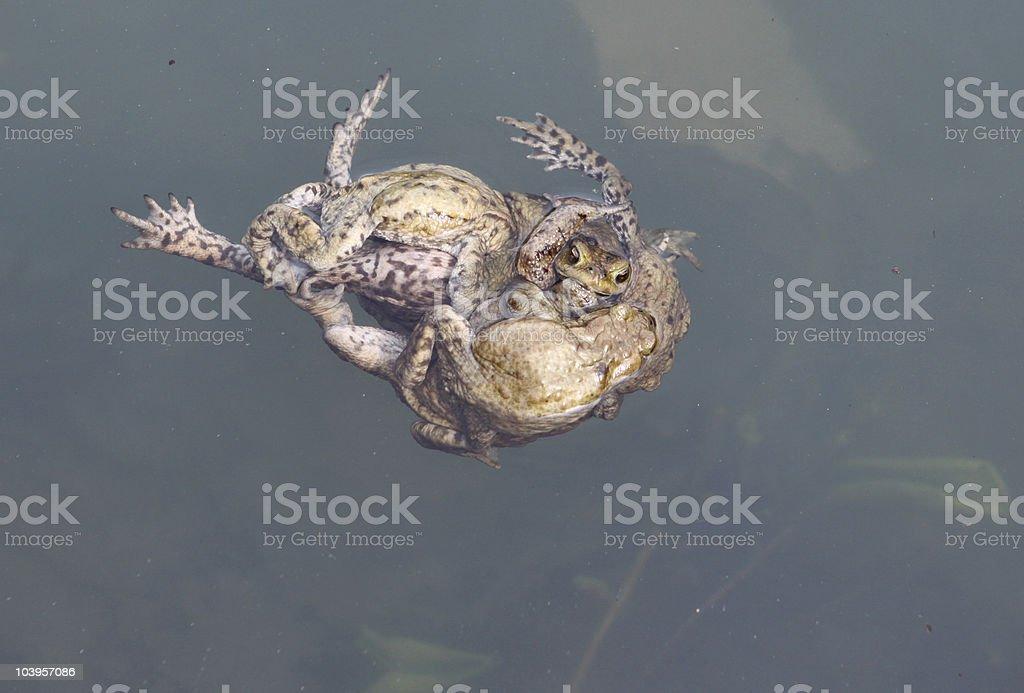 Common Frogs stock photo
