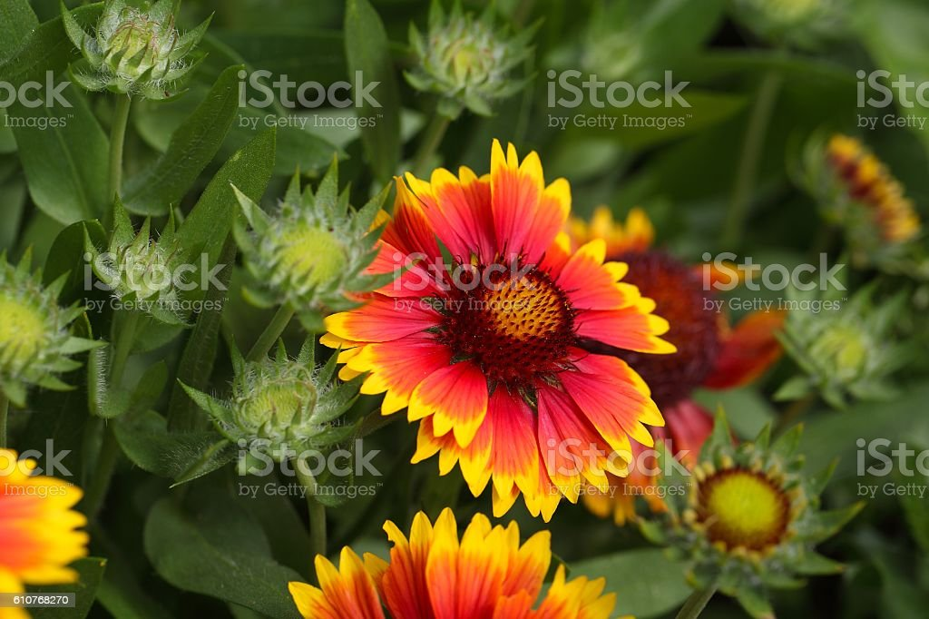 Common gaillardia  (Gaillardia aristata) stock photo