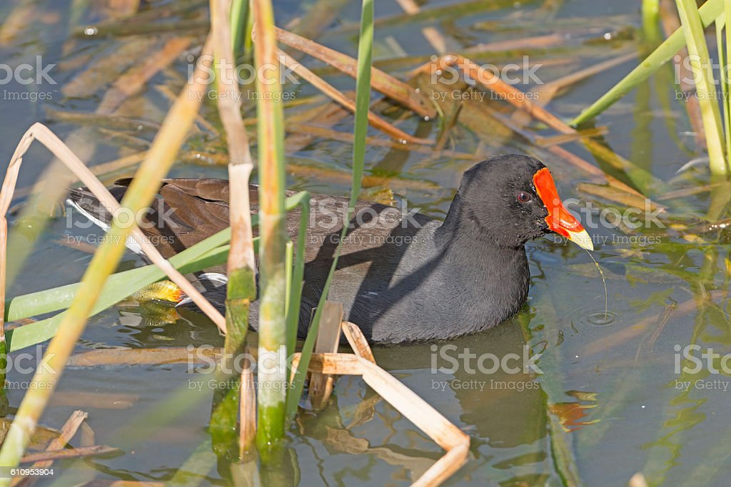 Common Gallinule in a wetland pond stock photo