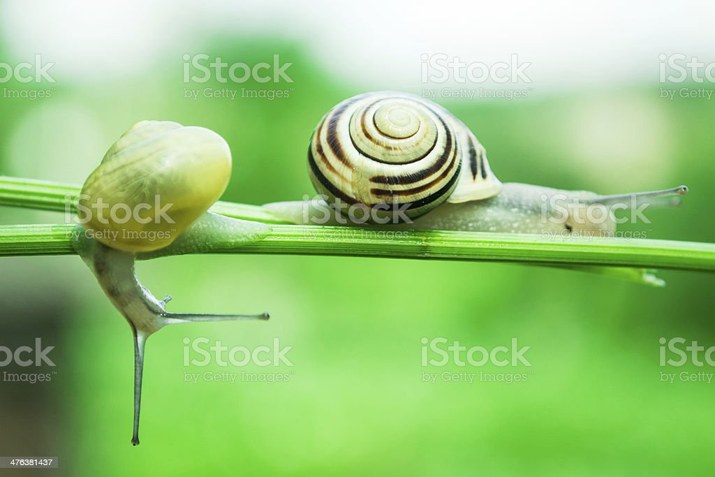 Common garden snails crawling on green stem of plant royalty-free stock photo