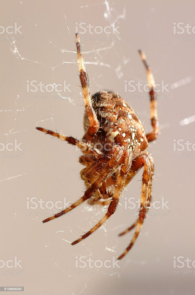 Common Garden Spider in Britain stock photo