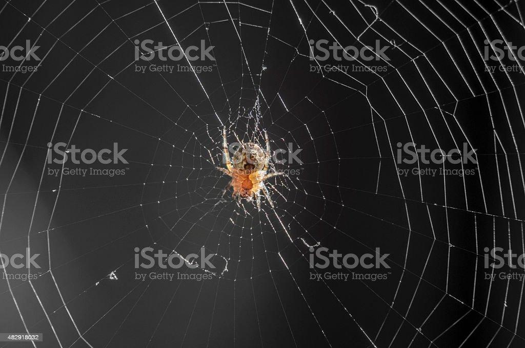 Common Garden Spider stock photo