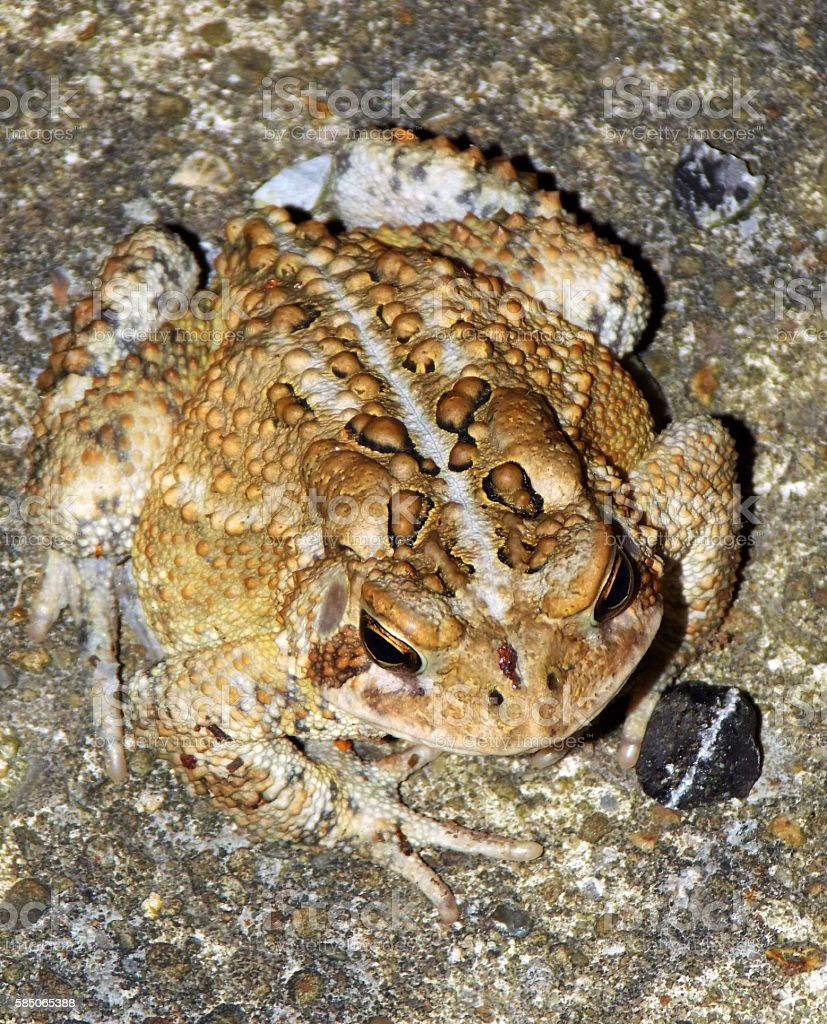 Common Garden Toad - Wearing Nature's Perfected Camouflage stock photo