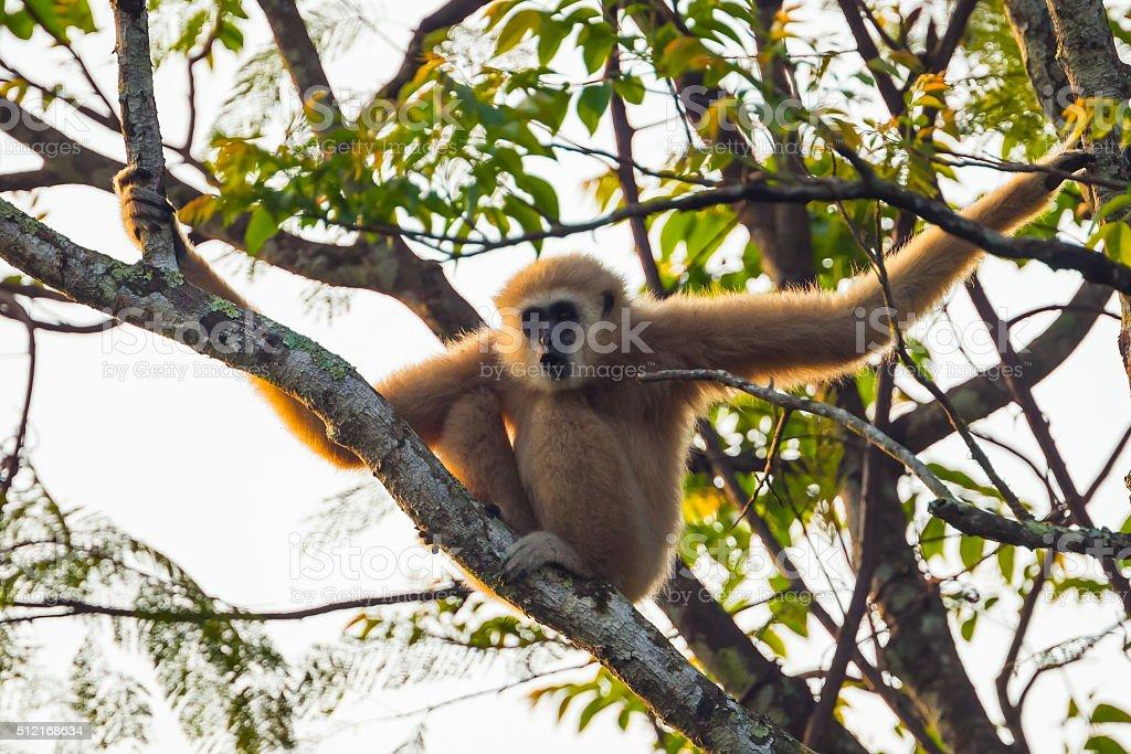Common gibbon, White-handed gibbon(Hylobates lar) stock photo