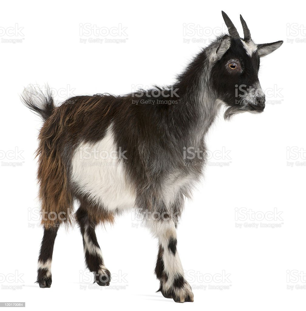 Common Goat from the West of France, white background. stock photo