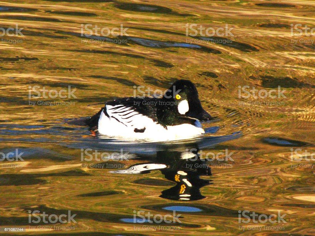 Common Goldeneye Diving Duck Swimming Waterfowl Bird stock photo